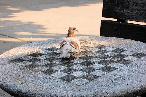 queens' pigeon