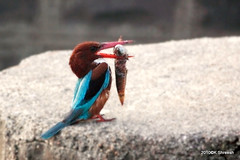 White Throated Kingfisher .. (K. Shreesh) Tags: india birds pune kavdi specanimal eos50d ef400f56l