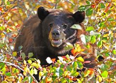 Cinnamon Black Bear - 8429bsg (teagden) Tags: bear park autumn black tree fall bravo berries hole cinnamon grand jackson national wyoming teton tetons 2010 anawesomeshot