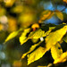 chestnut in late afternoon sun (nosha) Tags: new november autumn green fall beautiful beauty leaves yellow 50mm golden leaf newjersey nikon bokeh nj jersey chestnut d200 nikkor ais pennington shimmer 2010 lightroom 50mmf12
