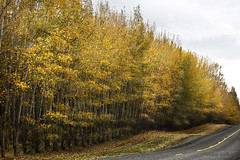 Autumn along the road (walla2chick) Tags: road tree oregon farm or poplars umatilla 2736