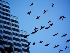 Come Fly With Me (Chris Saulit) Tags: sf sanfrancisco california street morning building birds northerncalifornia dawn fly flying market bayarea norcal marketstreet