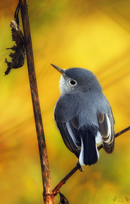 Blu-gray Gnatcatcher