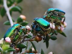Busy green scarab beetles (dracophylla) Tags: australia tasmania scarabaeidae blackmansbay petermurrellreserve greenscarabbeetle diphucephlacolaspidoides