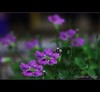 The color of springtime is in the flowers, the color of winter is in the imagination. (Front Page) (H a s h e e d) Tags: autumn flower spring violet frontpage explored explorefp