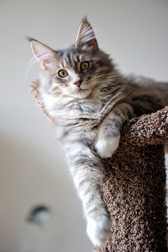 Flickr: Discussing How big is your Maine Coon? in Maine Coon