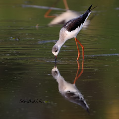 Black-winged Stilt (somchai@2008) Tags: himantopushimantopus blackwingedstilt  thewonderfulworldofbirds qualitygold