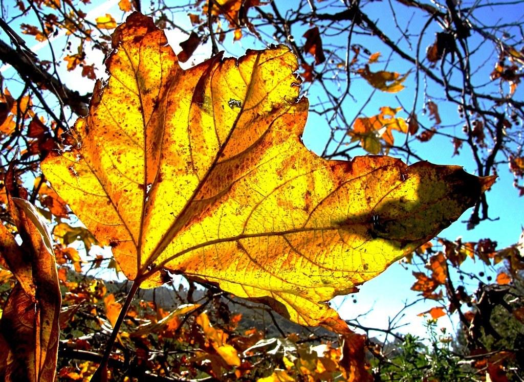 December Change, Oak Leaves