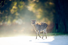 through the veil (andrew evans.) Tags: lighting morning trees winter england sun white mist tree nature misty fog fairytale forest sunrise golden countryside kent woods nikon frost shadows bokeh wildlife tunnel calm deer ethereal sunrays storybook magical f28 enchanted d3 400mm