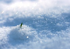 Begging for a Life. (LaPanteraRosa.) Tags: snow macro grass 50mm fight bokeh 50mm14 sal 50mmf14 kenkoextensiontube12mm sonyalpha700