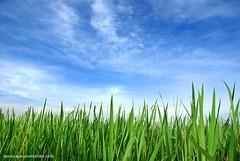 Foto Pagi Hijau Blue Sky in Indonesia (Fotografer Pernikahan Pre Wedding Jogja Yogyakarta) Tags: blue sky indonesia landscape photography foto photographer padi pertanian hijau pagi sawah fotografi ladang fotografer tanaman agrari penghijauan