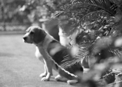 Don't Chain Me, Bro (Skies of Bitan ) Tags: blackandwhite bw dog film beagle bokeh taiwan hc110 canine    canonef ilforddeltapro400   tokina70210mmf4macro