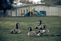 The Geese That Wanted to Learn (Mara T Pons) Tags: school field playground geese goose soccerfield schoolplayground thegeesethatwantedtolearn geeseinschool
