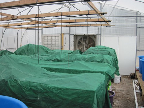 Frost blankets in the greenhouse