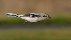 Flight of the Shrike (Wes Aslin) Tags: canada delta predator northernshrike laniusexcubitor tc14eii nikkor300mmf4afs d300s