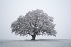 Solitary (Lizzie Staley) Tags: winter snow tree nature frost icey hompagetile