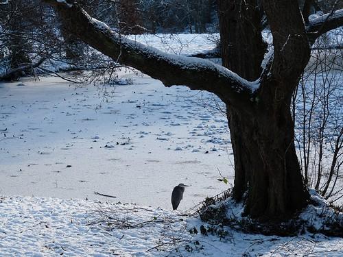 23761 - Grey Heron, Singleton Park
