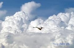 Freedom (Teng Fong Lin) Tags: bird nature flight malaysia johor muar paritjawa peaceaward flickrbronze pantaileka mygearandme