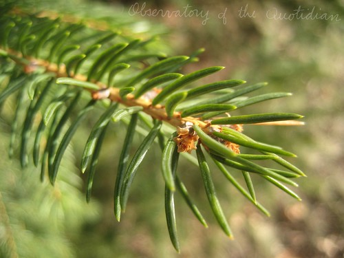 Fir Branch in the Sun