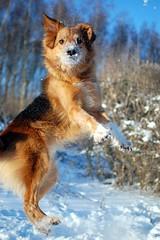 Mikko (photoArt) Tags: schnee winter dog chien snow jump action hund mikko