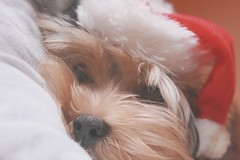 Spock! (Honey Pie!) Tags: dog pet yorkie puppy yorkshire adorable feliznatal cachorro spock yorkshireterrier merrychristmas filhote
