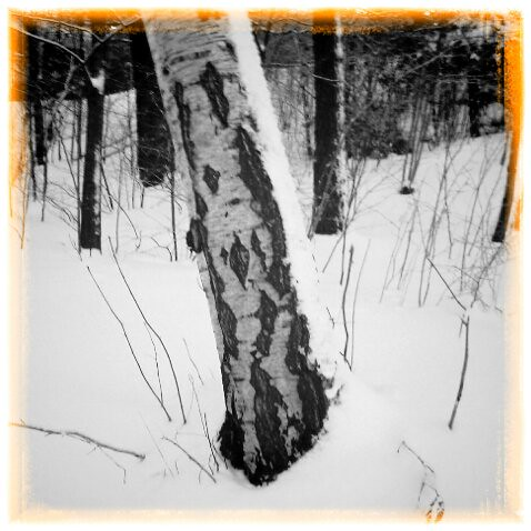 b/w Birch in deep snow