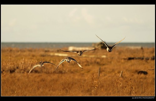 Pintails flying away