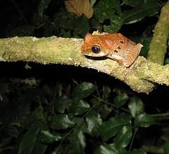 Tree frog (Boophis roseipalmatus), Montagne d'Ambre (Niall Corbet) Tags: madagascar ambermountain montagnedambre nationalpark rainforest jungle amphibian frog tree boophis anura boophisroseipalmatus