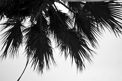 Palm Fronds (RobW_) Tags: palm fronds galini spa hotel kamena vourla ftiotida greece wednesday 29dec2010 dec2010 december 2010 blacknwhite