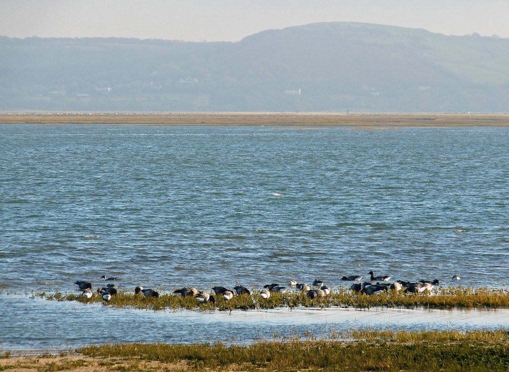 23817 - Brent Geese, Whitford Point, Gower