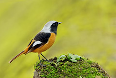 Happy New Year!! (Fu-yi) Tags: bird animal sony taiwan alpha dslr   formosan daurianredstart