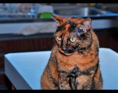 Congratulations, P.E.P.A., you are living in your third decade and your second century!! (LinoPhilippe) Tags: chile santiago cats cat nikon kitten feline chat kitty gatos gato felino katze gatto katzen kot matou chatte chaton  d60  hauskatze  felidi