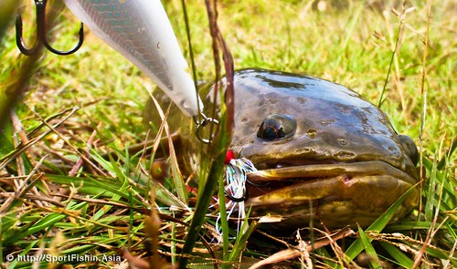 Snakehead on Rapala lure