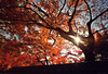 New year, New light 2011 (y2-hiro) Tags: new light red tree leaves nikon year d3s