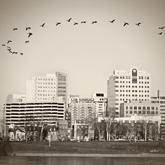 223.365 (Laura L. Ruth) Tags: city sky bw bird birds sepia contrast canon river square photography 50mm geese pretty cityscape pennsylvania capital flock monotone goose pa capitol aviary desaturated harrisburg frontstreet susquehannariver llruth lauralruth