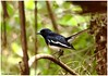 Bio-acoustics!!! (Naseer Ommer) Tags: canon aves copsychussaularis magpierobin bioacoustics birdsofkerala naseerommer canon300mm canoneos7d vocalizations discoverplanetinternational