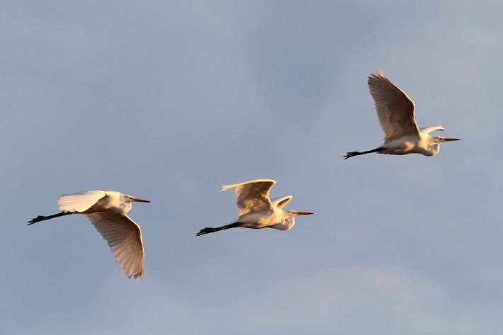 010511_SaltonSea_flyingEgrets