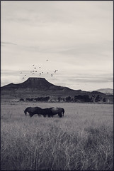 (Elizabeth Riley) Tags: horses grass wyoming crows crowheart crowheartbutte
