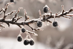 (StephenZacharias) Tags: winter snow canada ice crystals winnipeg branch berries manitoba pvn sugarcoated 9073 bonnycastlepark stephenzacharias pvnature pvnaturewinner