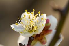 Prunus mume (Jim Mayes) Tags: macro digital sony 100mm alpha minoltaaf100mmf28macro