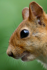 Cute Squirrel (Harri_1970) Tags: summer wallpaper portrait brown cute green eye nature beautiful animal finland fur mammal nose poser squirrel pretty turku canon300d head watching orava ekorre luontokuva elin ardilla redsquirrel eekhoorn ecureuil beautu kurre