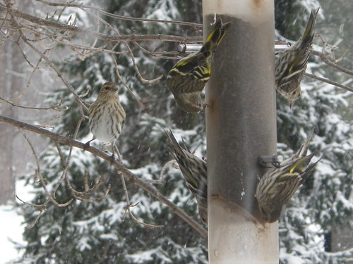 More Pine Siskins