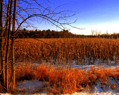 Cornfield in Winter (**Ms Judi**) Tags: trees winter light sky snow cold color tree nature colors beautiful beauty corn cornfield midwest view branches country bluesky scene cornstalks stalks godscountry winterscene godsgift msjudi judistevenson cornfieldinwinter judippc photographybymsjudi wisconsincornfield marinettewiscosnin