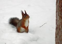 Ekorre/Squirrel (sorundalasse) Tags: winter snow vinter squirrel sweden sn ekorre sorunda