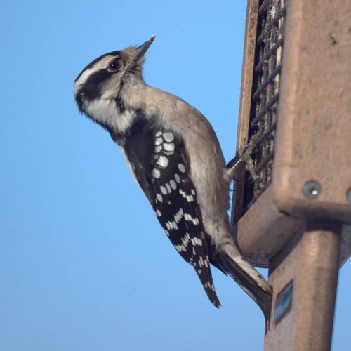 Female Downy Woodpeckers