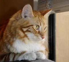 Bird watching - Project 365 - Day 16 (shannonsl) Tags: windows orange cats project nikon kitties 365 d5000