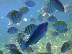 Fish Frenzy (Allen McGregor) Tags: fish coral dominican republic punta tropical cana