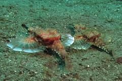 Dragon sea moth (Eurypegasus draconis) (BJSmit) Tags: philippines scuba diving pilipinas 2010 g11 tauchen duiken 2011 filipijnen inon seamoth eurypegasusdraconis z240 pegasidae eurypegasus dragonseamoth inonz240 wpdc34