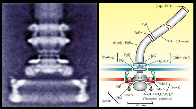 Flagelo de uma bactéria sob o microscópia eletrônico e a respectiva descrição de suas partes