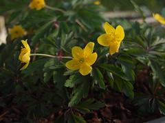 ANEMONE ranunculoides ssp. wockeana